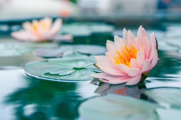 Hermosa Rosa Waterlily O Flor Loto Estanque 109643 6